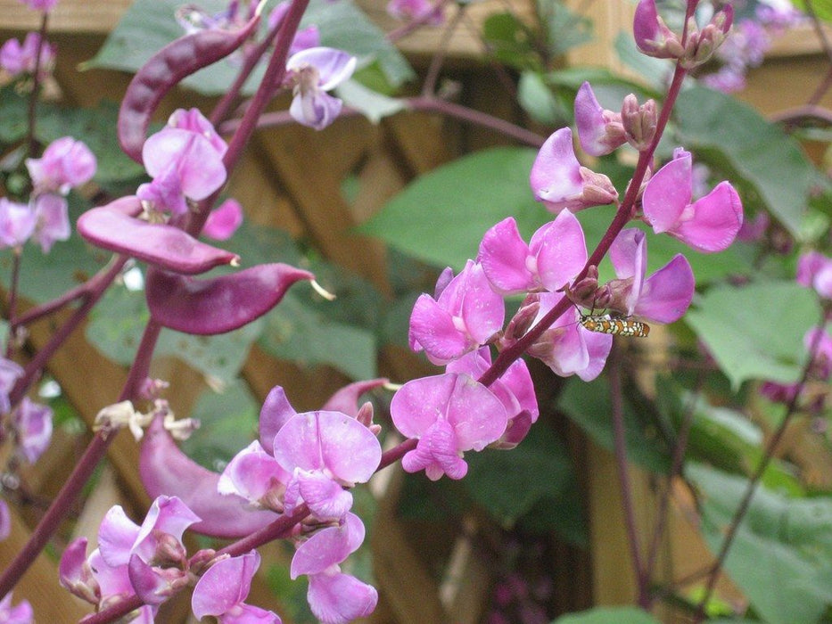 Hyacinth Bean Seeds - Seed Packets