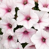 "Supertunia Petunia Vista Series  4"" & 606 pack"