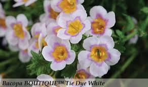 "proven winner Bacopa 4"" pot"