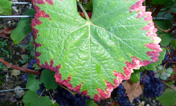 A grape leaf shows signs of phosphorus deficiency as the foliage changes from a vibrant green to purplish-red.