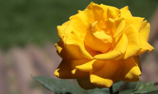 Plants, like this yellow rose, acquire nitrogen through a process called nitrogen fixation.
