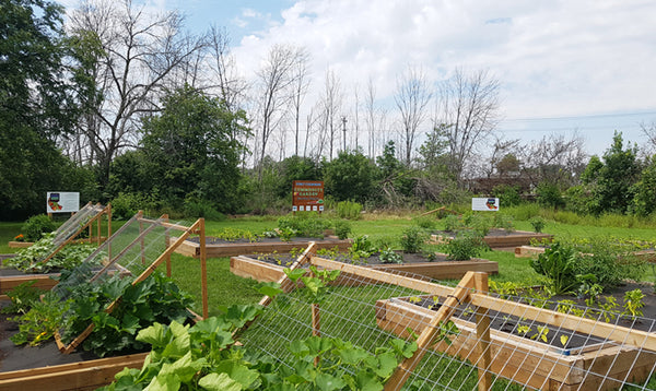 Vegetables are popping up at the Iron Earth Community Garden in support of the Port Cares Reach Out Food Centre in Port Colborne Ontario.