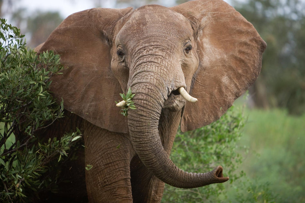 About the African Elephants