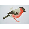 Wind Up Bullfinch Print by Tom Frost