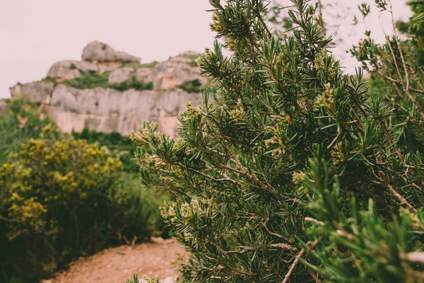 wild rosemary bushes