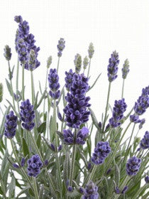 RockinDrops English Lavender Fragrance Oil