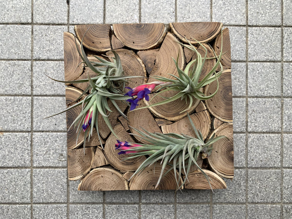 Aeranthos Bronze Air Plant