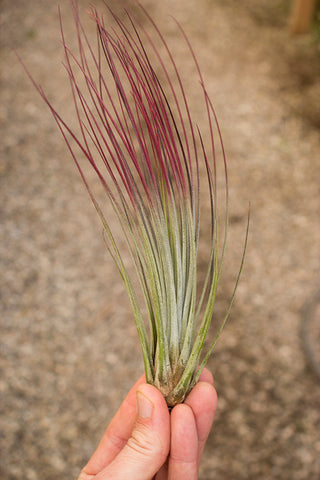 Juncea (Red Tipped) Air Plant