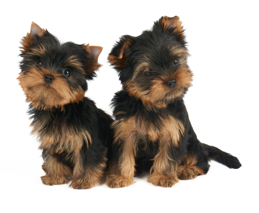 Two Yorkie Dogs