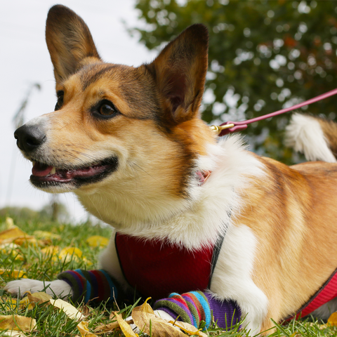 a Corgi dog laying on the grass with a dog vest on