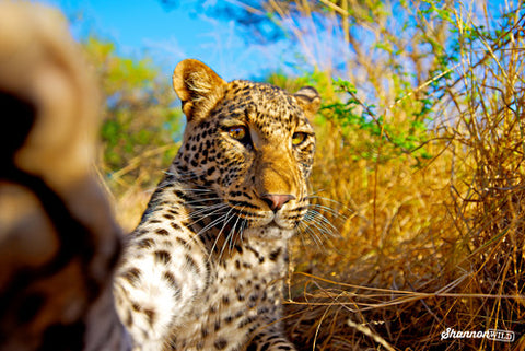 Leopard (Panthera pardus) pawing camera, South Africa