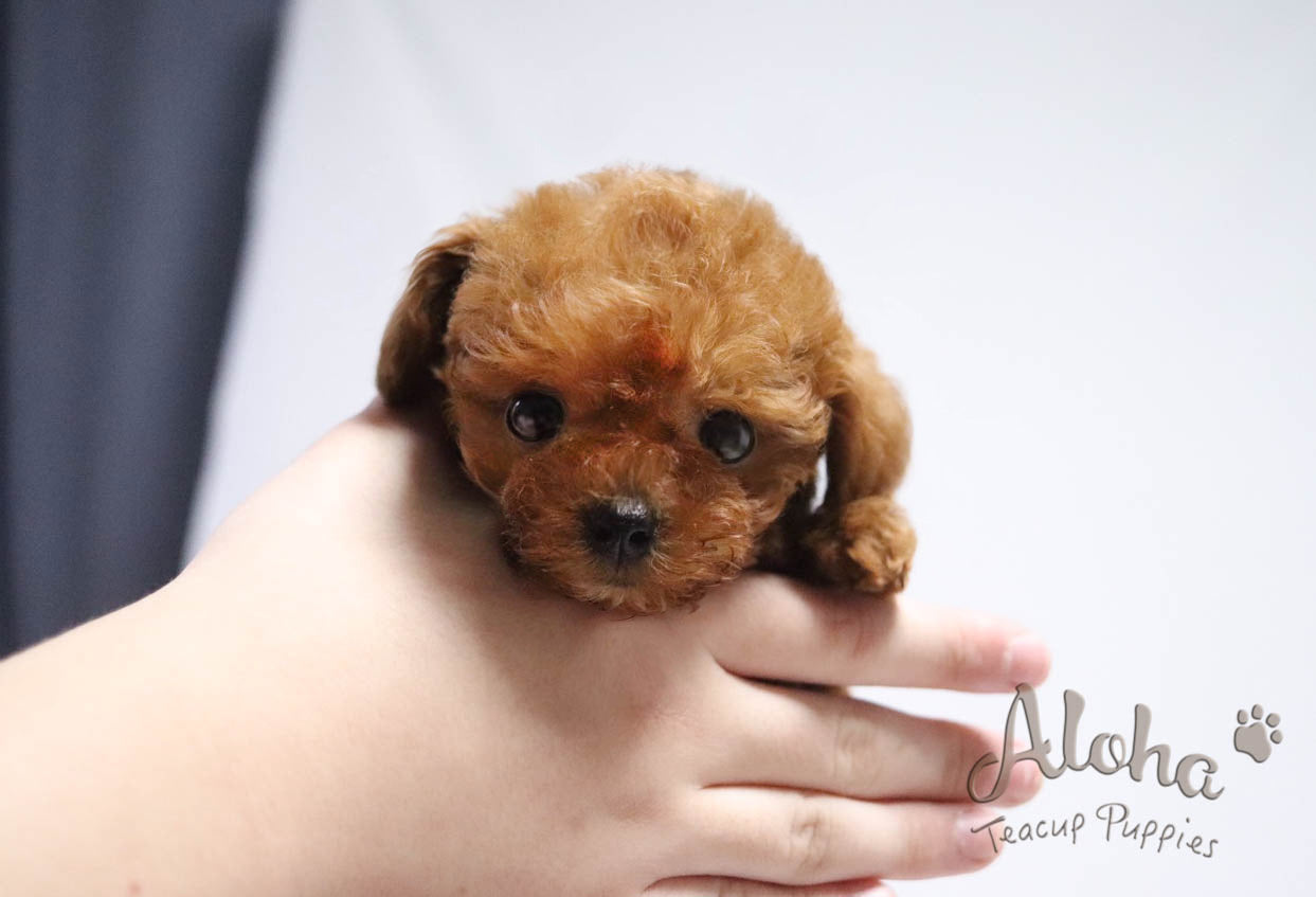 "Teddy bear face ""Toy poodle"" COCO"