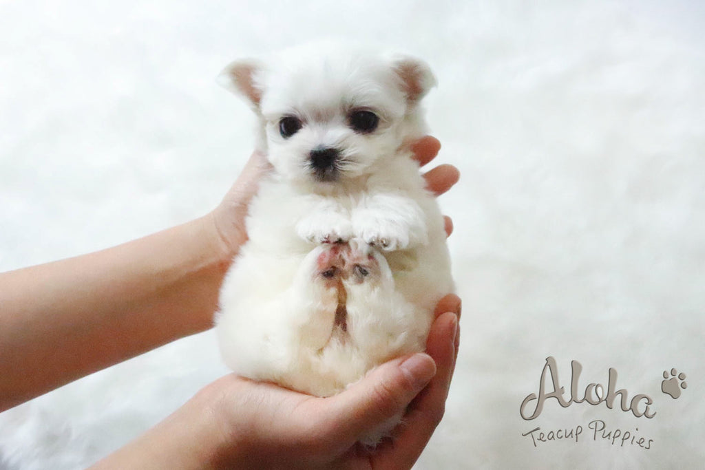 Sweet Teacup Maltese !! I'm in love with you.