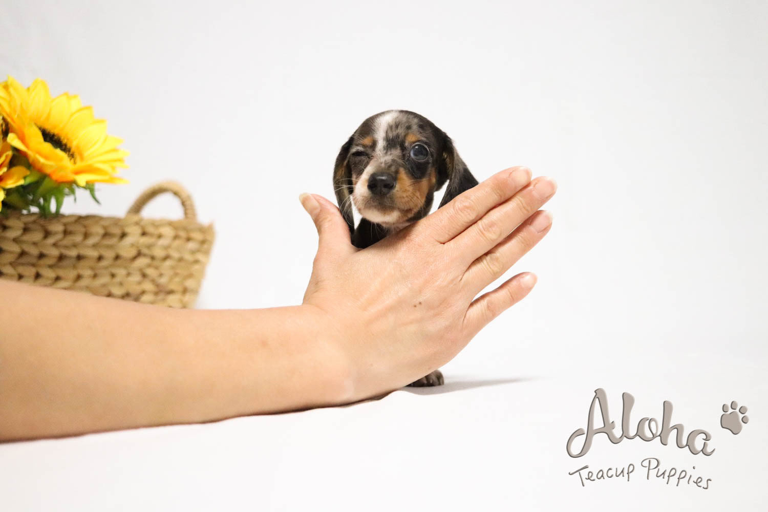 Find out about dachshund's charm😍