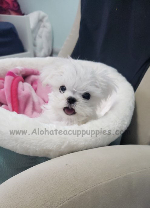 BUDDY, ALOHA TEACUP PUPPIES