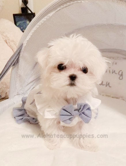 Sophie, ALOHA TEACUP PUPPIES