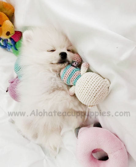 Marshmello, ALOHA TEACUP PUPPIES