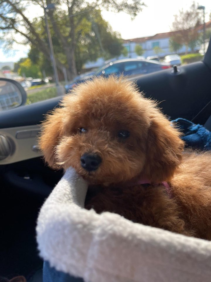 POODLE, ALOHA TEACUP PUPPIES