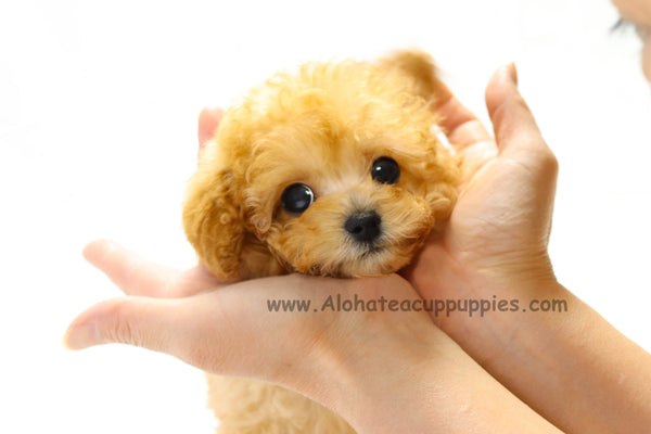 "Toy Poodle ""COOKIE"""