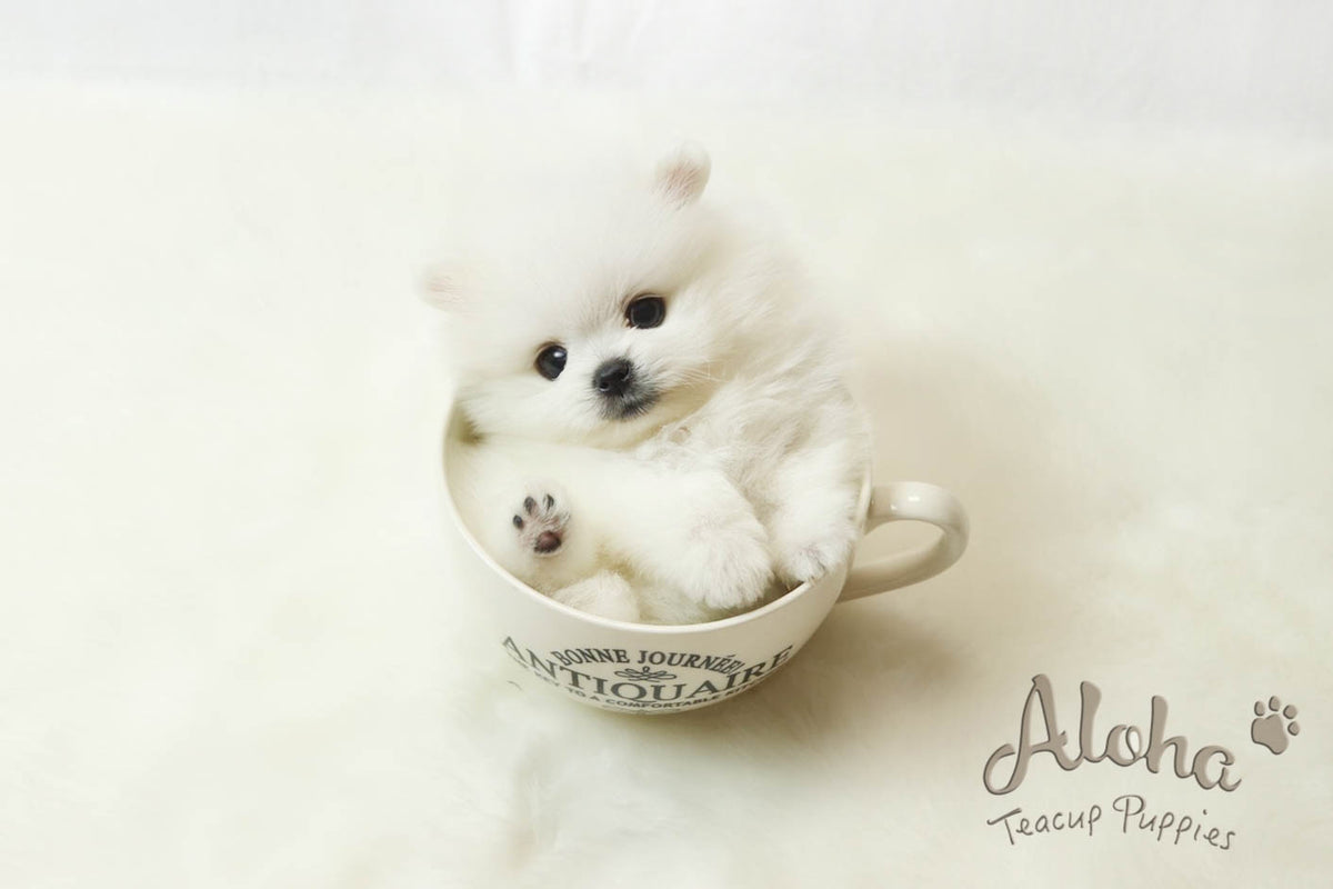 Healthy Teacup Puppies For Sale ㅣ Alohateacuppuppies