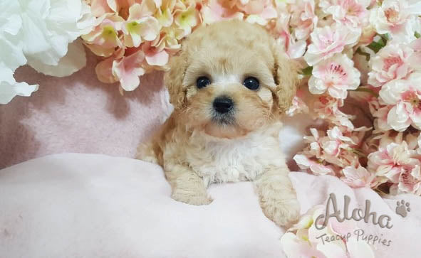 Sold to Jansen, burberry [TEACUP MALTIPOO]