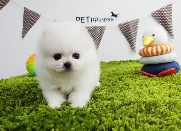 Sold to Lidisys, Luna [TEACUP POMERANIAN]