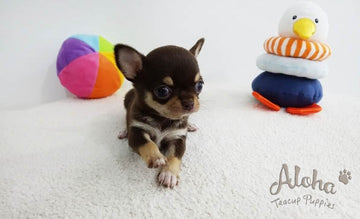 Sold to Jack, KitKat [TEACUP Chihuahua]
