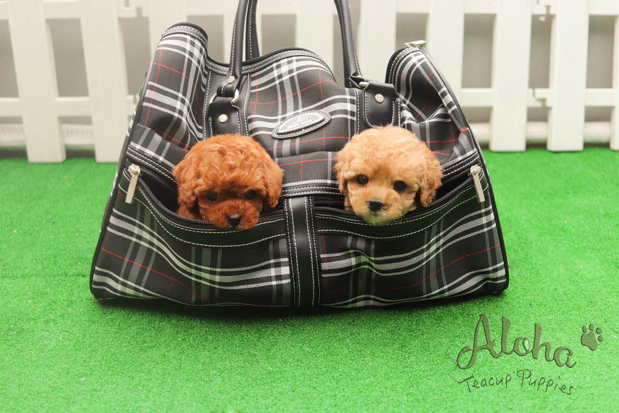 Sold to Quran, Teddy [Teacup Poodle]