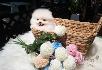 Sold to Denys, Tyler [TEACUP POMERANIAN]