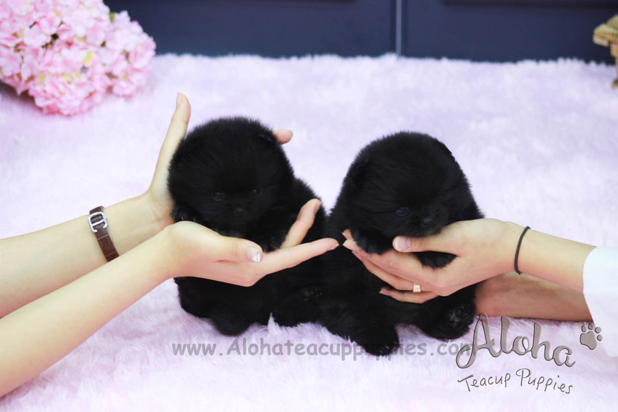 Sold to Franciel, Poppy&Ava [Teacup Pomeranian]