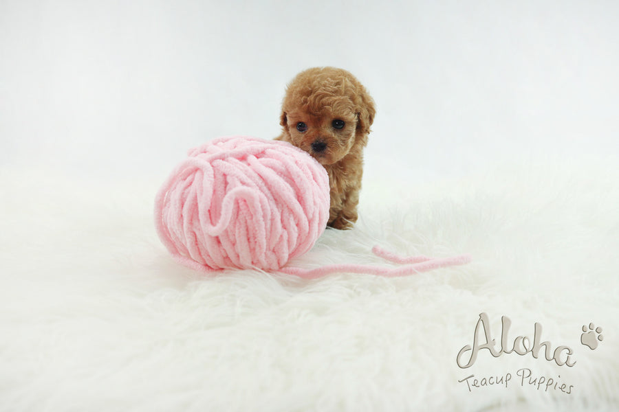Sold to Delilah, baguette [TEACUP MALTIPOO]