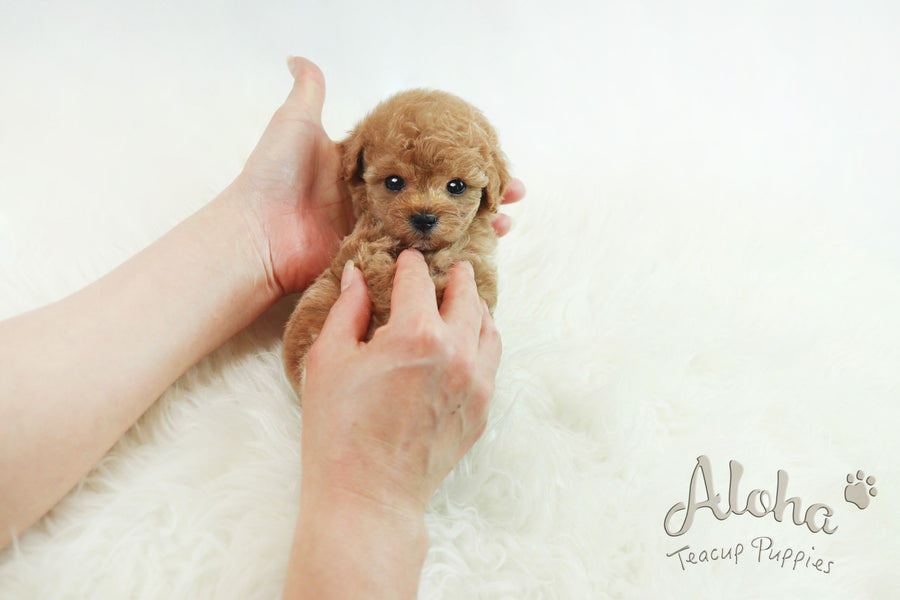 Sold to Victor, Cheese [Teacup Poodle]