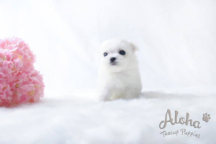 Sold to Alex, LEO - [Teacup Maltese]