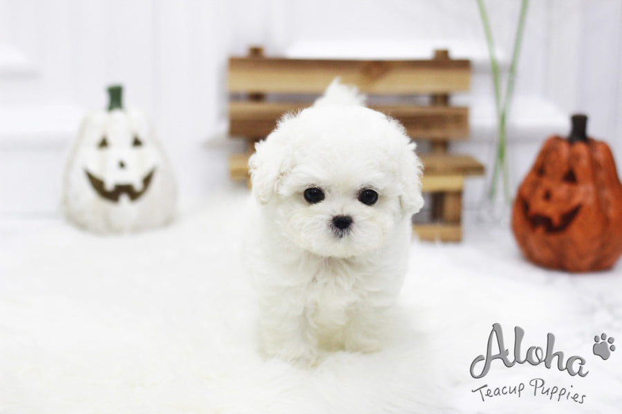Marshmallow [TEACUP BICHON]