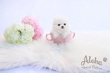 Sold to Michael, Izzy [TEACUP POMERANIAN]