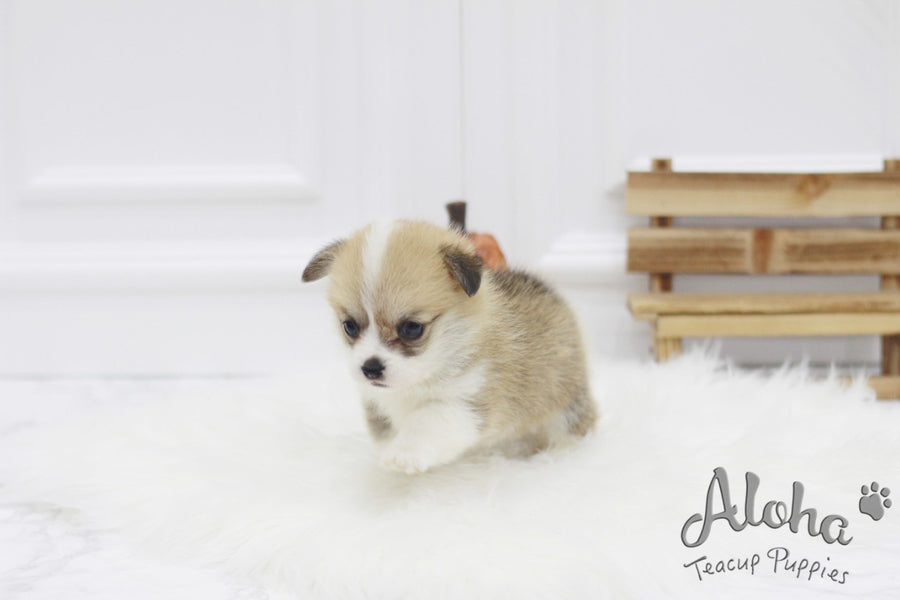 Sold to Tom, Cookie [TEACUP Welsh Corgi]