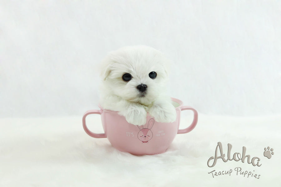 Sold to Joanne, Cherry [TEACUP MALTESE]