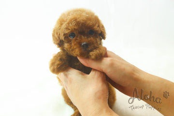 Sold to Malia, MOCHA - [Teacup Poodle]