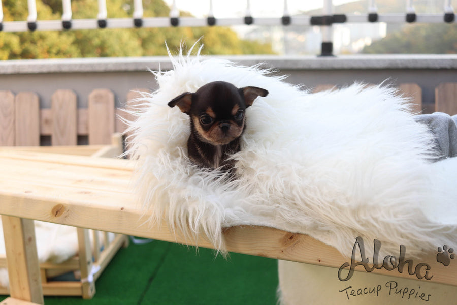 Sold to Jessie, Pie [TEACUP Chihuahua]