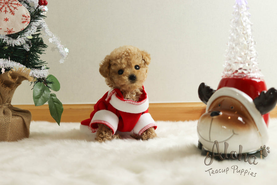 Sold to Minerva, Muffin [TEACUP POODLE]