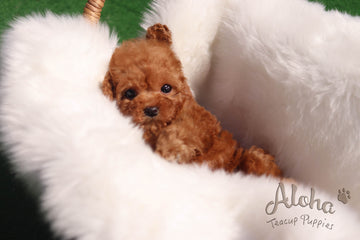 Reservation to Victoria, Ruby [Teacup Poodle]