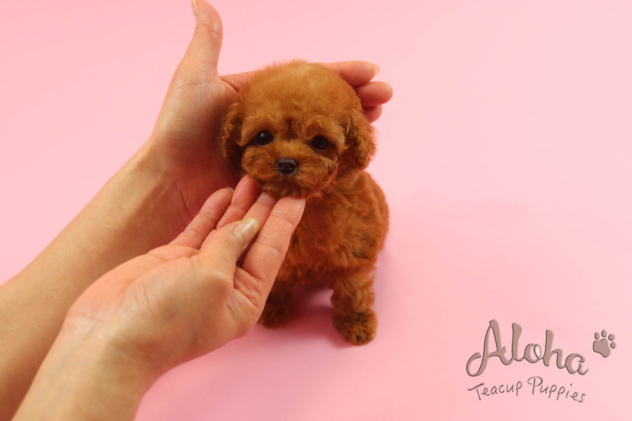 Sold to Sonia, Bambi [Teacup Poodle]