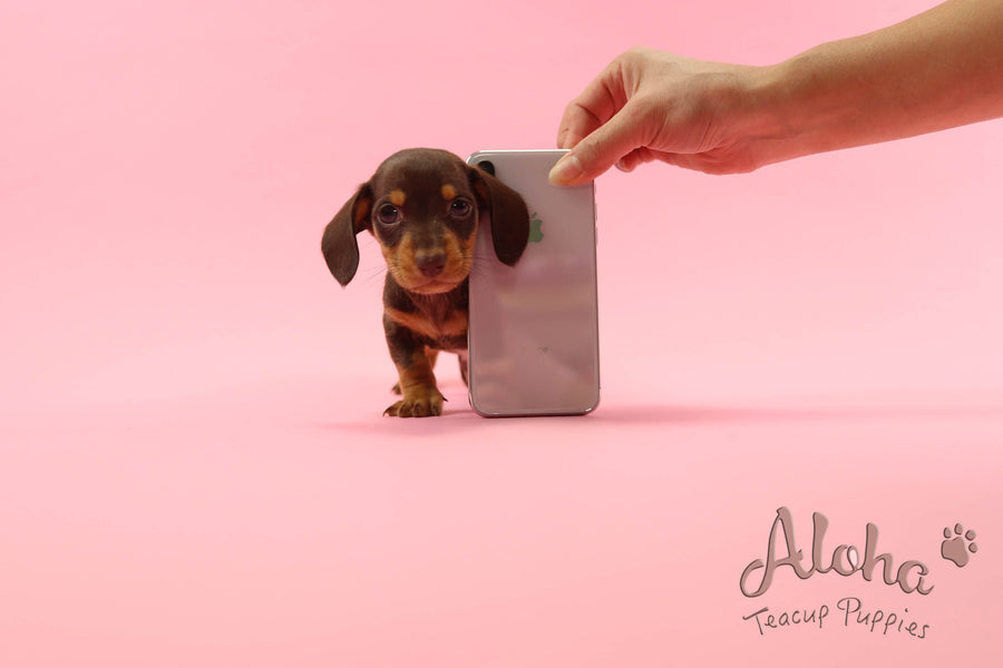 Sold to Chantal, Bob [Teacup Dachshund]