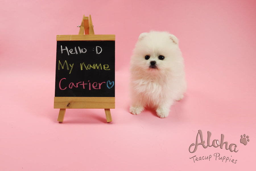 Sold to Paul, Cartier [Teacup Pomeranian]