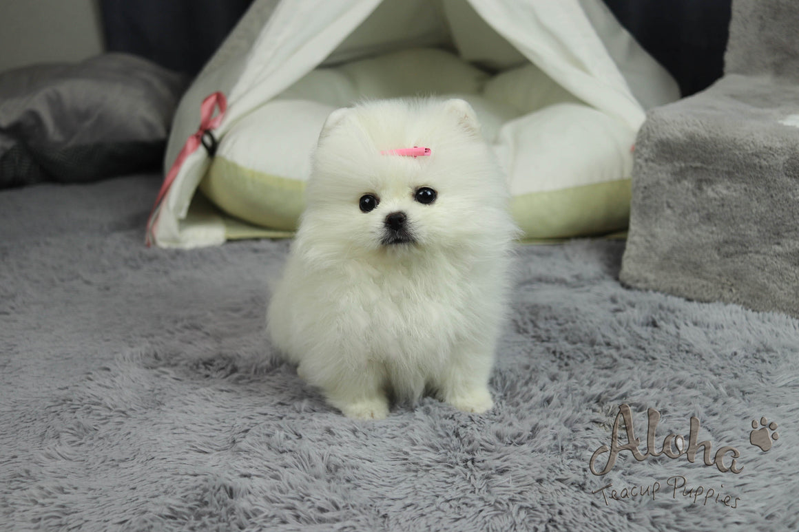 Cartier [Teacup Pomeranian]