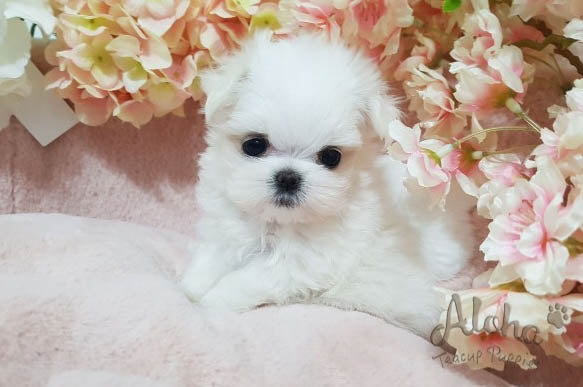 Sold to Maricela, Buddy [TEACUP MALTESE]
