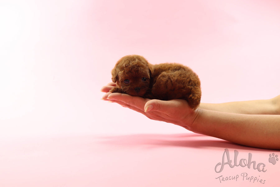 Sold to Rachel, Jelly [TEACUP POODLE]