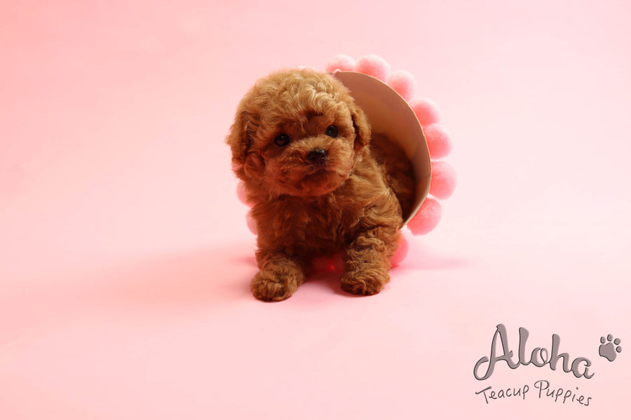 Sold to Rachel, Macaron [Teacup Poodle]