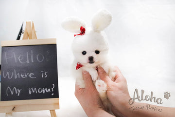 Sold to Liwenzhu, Prada [TEACUP POMERANIAN]