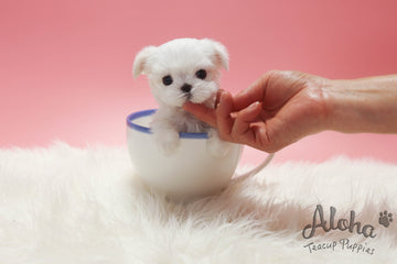 Sold to Mitchell, Sammy [TEACUP MALTESE]